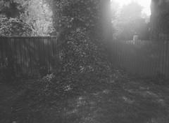 Epiphyte in black-and-white (Matthew Paul Argall) Tags: belomoetude fixedfocus 120film 120 mediumformat blackandwhite blackandwhitefilm meniscuslens epiphyte