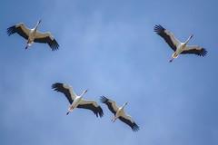 Cigognes blanches (Marc ALMECIJA) Tags: oiseau bird aves vogel migration migracion détroit gibraltar estrecho bleu blue sky ciel sony rx10m3 tarifa espagne andalousie outdoor outside nature natur wildlife