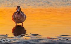 Sonnenuntergang auf Langeoog (Betrachtungsweisen) Tags: 2018 langeoog eos1300d sonnenuntergang sunset ente nordsee northsea meerweh natur landscape nordseeliebe canon reflection ostfriesland