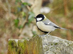 Great Tit (LouisaHocking) Tags: gardenbird bird southwales cyfarthfapark cyfarthfa park wild wildlife british nature merthyr merthyrtydfil woods stone greattit tit