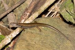 Murrays Skink (Eulamprus murrayi) 01 (Geoffrey Walker) Tags: murrays skink reptile nature