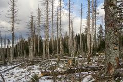 WaldInfarkt (Panasonikon) Tags: panasonikon sonya6000 walimex1220 harz winter schnee snow wald forest baumsterben landschaft landscape