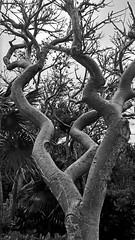 Wind-gnarled tropical tree (Light Orchard) Tags: caribbean cruise oceania riviera tropics tropical ship boat ©2019lightorchard bruceschneider