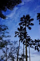069/365: the edge of the cosmos (Fille.de.Lumière) Tags: blue deepblue blueskies blueisbest dusk sundowner lookup lookingatthesky trees theartoftrees arboreal arboreality tall high skyhigh skywards skygazing evening eveningwalk sunday sundaywalks singaporeskies silhouettes theshapeoftrees sunlightthroughtrees deepblueskies velvetblue