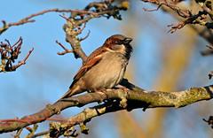 HOUSE SPARROW at CLIFTON (11birdman11) Tags: birds britishbirds butterflies bugs moths mammals