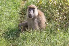 Hey Girl... (Jill Clardy) Tags: africa kenya vantagetravel safari 201902179l8a6593 baboon monkey grass meadow yellow papio cynocephalus amboseli national park wildlife mammal animal savanna