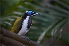 Blue Faced Honeyeater (adult bird) (georg_dieter) Tags: australia bird honeyeater bluefacedhoneyeater queensland