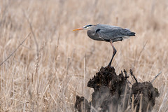 Aerodynamic (NicoleW0000) Tags: greatblueheron heron bird wader marshlands swamp grass treesnag windy wind springmigration springweather wildlife naturephotography canon ontario canada