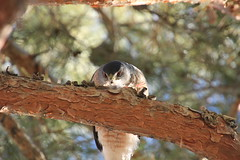 Coopers Hawk. (Buck--Fever) Tags: hawk birds nature arizona pinetree trees chandlerarizona canon60d tamron18400lens home coopers