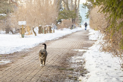 Catwalk (A Great Capture) Tags: catwalk agreatcapture agc wwwagreatcapturecom adjm ash2276 ashleylduffus ald mobilejay jamesmitchell toronto on ontario canada canadian photographer northamerica torontoexplore winter l'hiver 2019 island cat meow algonquinisland cold snow weather eos digital dslr lens canon 6d mark ii ef70200mm outdoor outdoors outside streetphotography streetscape photography streetphoto street calle depthoffield dof trail path route walkway