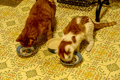 DILO - March 20 2019 Equinox (9) (tommaync) Tags: dilomar2019 equinox spring 2019 march nikon d7500 northcarolina nc dilo chathamcounty chatham cats kitties max spirit dinner eating dishes floor pets