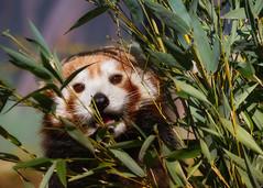 Peek-a-boo in the bamboo (FocusPocus Photography) Tags: roterpanda kleinerpanda redpanda katzenbär ailurusfulgens tier animal himalaya zoo karlsruhe bambus bamboo