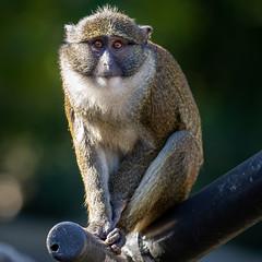 Young Allen's Swamp Monkey (Bob Worthington Photography) Tags: zoo122918 sandiegozoo canon7dmarkii canon70200f28lisii