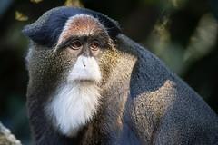Debrazza's Guenon (Bob Worthington Photography) Tags: zoo122918 sandiegozoo canon7dmarkii canon70200f28lisii