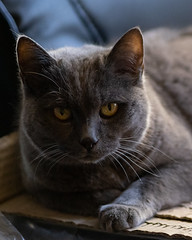 Chartreux Cat Beauty (alessio.vallero) Tags: