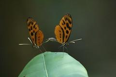 Sex in the jungle - mating butterflies (Paul Cottis) Tags: manuwildlifecentre manuriver amazonbasin rainforest peru paulcottis 26 september 2018 sept sex insect butterfly leaf orange black