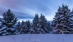 Blue Spruce (Aaron Springer) Tags: michigan northernmichigan trees pine conifer winter snow clouds longexposure outdoor nature landscape