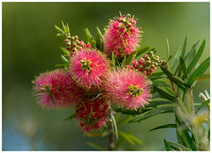 Callistemon blossoms (PaulBalfe) Tags: callistemon bulimbacreek flower carindale sequeensland