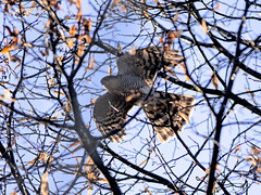 Sparviere - Accipiter nisus - Eurasian Sparrowhawk (vieri bertola) Tags: uccelli sparviere