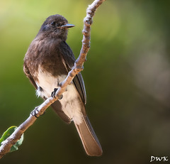 The Black Phoebe (Don's Photostream) Tags: bokeh phoebe tc14 nikon 1500f8 bird flycatcher iso1000 3004 d500