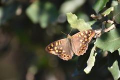 Pararge aegeria (esta_ahi) Tags: santcugatsesgarrigues mariposa papallona butterfly pararge aegeria parargeaegeria nymphalidae lepidoptera insectos fauna penedès barcelona spain españa испания