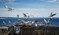 Gulls' party (ganagafoto) Tags: ganagafoto travels viaggi europe europa italy italia puglia salento gallipoli sea mare gulls gabbiani sky cielo birds uccelli landscapes paesaggi
