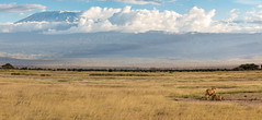 In the Shadow of Mt. Kilimanjaro (Jill Clardy) Tags: africa kenya vantagetravel safari 201902179l8a7017pano amboseli national park mt kilimanjaro pano panorama lioness two lions clouds cloudy afternoon savanna savannah