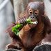 Young Orangutan Eating Lettuce