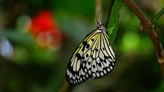 Rice Paper Butterfly (Idea leuconoe) (Pablo L Ruiz) Tags: butterflyworld butterflies