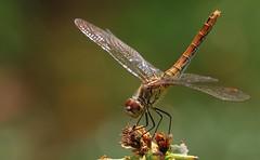 Ruddy Darter -Sympetrum sanguineum- Pulborough Brooks RSPB West Sussex (12) (Ann Collier Wildlife & General Photographer) Tags: ruddydarter sympetrumsanguineum royalsocietyfortheprotectionofbirds rspbreserves westsussex pulboroughbrooksrspb macro insect insects britishwildlife britishinsects dragonflies dragonfly dragonfliesanddamselflies naturalhistory naturereserves nature odonata