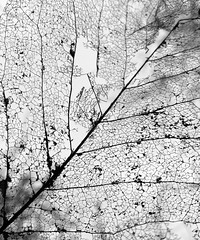 Solar power recycled (shanahands2) Tags: leaf trees iphone spring blackandwhite bw