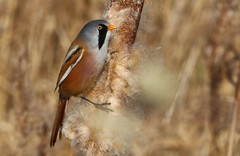 Bearded reedling (Bearded Tit) -male -Panurus biarmicus - Radipole Lake RSPB Dorset -030219 (13f) (Ann Collier Wildlife & General Photographer) Tags: weymouth dorset dorsetwildlife beardedreedling beardedtit male panurusbiarmicus radipolelakerspbreserve radipolerspbreserve birds bird uk wildlife wildlifereserves royalsocietyfortheprotectionofbirds