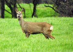 Roe Deer (grahamhicks52) Tags: deer wildlife pagham