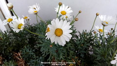 Marguerite flowers close up on balcony 20th March 2019 (D@viD_2.011) Tags: marguerite flowers close up balcony 20th march 2019