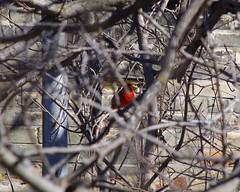 TIMG27958 (Timothy Harry David Gallant) Tags: pentaxks2 stratfordontario backyardphotography northerncardinal brightredbird beautifulbird