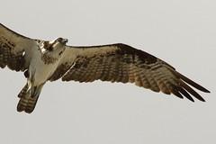 F922 EF100-400/4.5-5.6 7DMkII Osprey @Mexico H89A7682 (Hiro sensei photos) Tags: ef100400mmf4556 7dmkii birds mexico