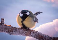 Eye Contact (MrBlackSun) Tags: tit forest winter finland frozen frozenforest nikon d850 kuusamo birds bird birdlover kuusamonaturephotography nature photography naturephotography lapland