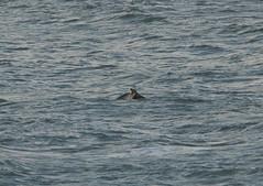 IMG_5382 (monika.carrie) Tags: monikacarrie wildlife scotland aberdeen dolphins dolphin cetacean mammals