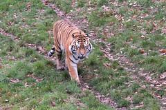 IMG_1473 (Simon M Hendry) Tags: yorkshirewildlifepark zoo england yorkshire wildlifepark animal mammal tiger bigcat amurtiger walking