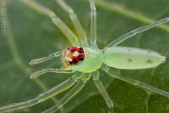Lyssomanes-female-dorsal-closeup (Venus Optics - Laowa) Tags: 2018 arachnida colombia february2018 lyssomanes salticidae santamarta taironaka female jumpingspiders riodondiego spider