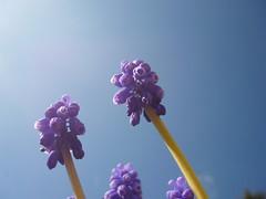 Azurblaue Blüten & Himmel (Jörg Paul Kaspari) Tags: muscari armeniacum muscariarmeniacum kelberg garten armenische traubenhyazinthe blüte flower bulb zwiebelpflanze frühling spring azurblau violettblau himmel sky