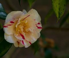 Camellias (akatsoulis) Tags: nikkor50mm14g oxfordshire southoxfordshiredistrict sunnyday flowers d5300 nikon oxford alexkatsoulis harcourtarboretum