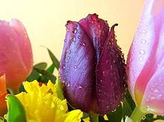 spring bouquet (majka44) Tags: drop water tulip light colors 2018 macro bouquet flower