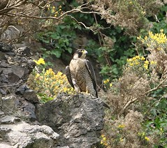 Peregrine Falcon  (Explored) (Bogger3.) Tags: peregrinefalcon razorsharptalons birdofprey veryfastbird cliff rocks canon7dmk2 tamron150x600lens fullzoom handheld coth5 ngc