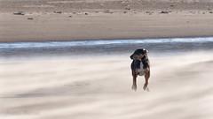 the trek (RCB4J) Tags: ayrshire ayrshirecoast babygrace clydecoast firthofclyde irvinebeach jakob rcb4j ronniebarron scotland siameselurcher trailhound adventure art beach composition dogwalkadventures dogs photography sandstorm severeconditions spectactular windy dxo