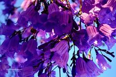Jacarandá. (luisarmandooyarzun) Tags: macro árbol jacaranda flowers argentina laboca buenosaires flickrunitedaward