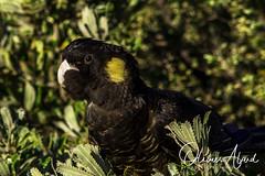 _IO_7865-MAir1 (oalard) Tags: australia australie bird oiseau nsw maroubra black cacatoès funèbre yellowtailed cockatoo