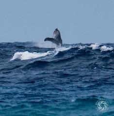 Whale Breach (tophermyers) Tags: whale breach hawaii