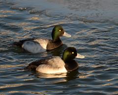 Scaup Pair (rochpaul5) Tags: ducks winter irondequoit monroe bay nature birds avian ornithology nikon sigma openwater ice great lakes arctic duck canard