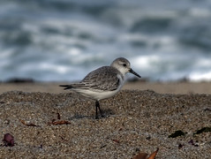 Sanderling (fractalv) Tags: california carmelbythesea beach pacificcoasthighway pacific ocean bird birds monastery